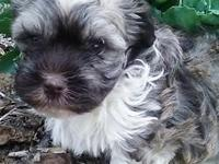 I have one adorable Havanese boy still available.