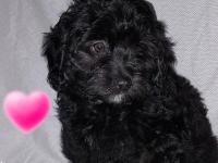 Hypoallergenic and non shedding puppies available,Black