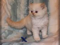 CFA registered Himalayan kitten Cream point male born