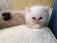 Gorgeous himalayan kittens. Available chocolate point