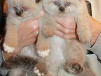 Adorable Himalayan kittens available to approved