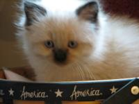 I have 2 Seal Point Himalayan kittens and 2 black