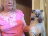 Beautiful tortie point himalayan kitten Great