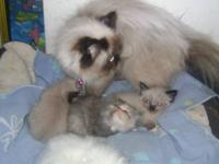 ADORABLE HIMALYAN SEALPOINT PERSIAN KITTEN FOR ADOPTION