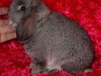 I currently have an adorable Holland Lop buck rabbit