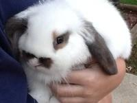 I have a litter of Holland Lop Bunnies that are ready
