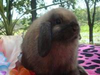 We have several Holland Lop rabbits for sale. My