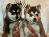 husky Puppies will come with pedigrees of both parents,