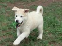 I have one female Huskita puppy available, she's the