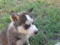 I have 3 Husky's available. they are adorable little