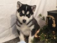 I have a litter of AKC Siberian Husky puppies, they