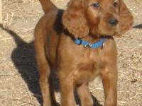 Irish Setter puppies, ready 3/15/14. New puppies are