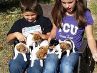 Purebred Jack Russell young puppies prepared for