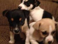 Jack Russell/Rat Terrier puppies for sale! Puppies were