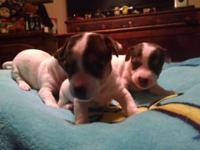 2puppies left 1male 1female..will be small dogs short