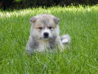 Lovable Japanese Akita Inu puppies available. 1 guy and