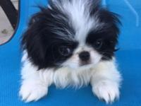Gorgeous Japanese Chin puppies looking for their