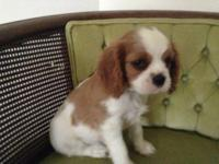Windy Acres' has a Blenheim male Cavalier pup that