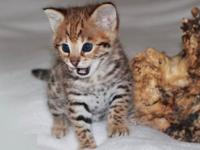 Adorable Bengal Kittens , both males and females in