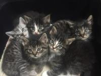 We have 5 adorable little kittens for sale! We have 3