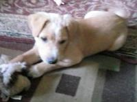 We have one adorable Lab/German shepherd mix puppy, he