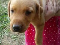 We have 2 adorable Lab/German shepherd mix puppies,