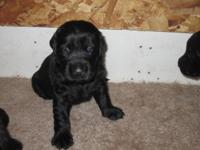 We have a litter of lovely Labradoodle puppies. All