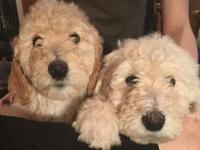 Adorable labradoodle puppies. They are available to go