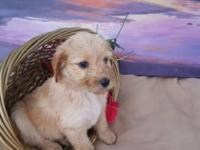 We have 7 Adorable Labradoodle Puppies ready to meet
