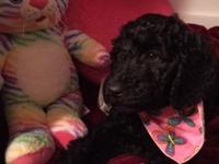 Blackberry is a 9 week old black labradoodle female dog