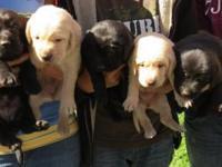 We have eight adorable Labrador/Golden Retriever