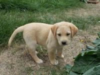 Adorable black and yellow lab puppies. Father is a