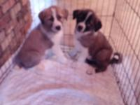 These adorable puppies are 8 weeks old today. their