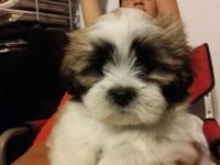 Like a little Teddy Bear! Adorable female Lhasa Apso