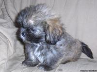 I have three precious 8 week old Lhasa Apso