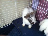 So sweet ..Lion Head/Lop Dwarf Bunny/Rabbit-Ready to be