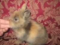 Beautiful Lionhead Rabbits now ready for new homes.