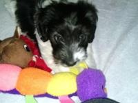 """""""Brody"""" is an adorable 10 week old mix young puppy. His"""