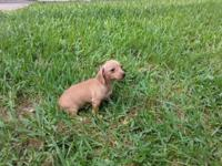 Three absolutely adorable chiweenie puppies. 1 girl and