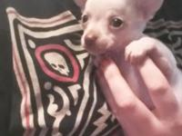 Tiny applehead chihuahua young puppies needing loving