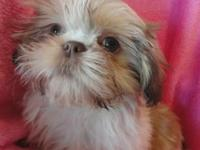 We have a couple of cute little Shih Tzu puppies