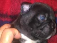 beautiful little Frenchton puppies 1 male black male