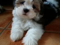 Lhasa Apso female Puppy 9 weeks old Adorable and sweet
