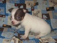 Adorable little Male Chihuahua puppy now looking for