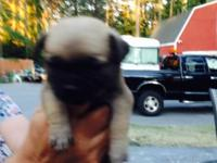 Adorable little male Chug puppy, very lovable, loves to