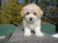 Beautiful little Maltipoo Puppy. He is 8 weeks old and
