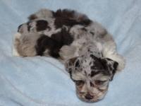 Miniature Schnauzer puppies , Guaranteed healthy