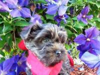This stunning little Morkie boy was born on May 5, 2014