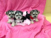 Charming, little, Morkie, 8 week aged puppies. These