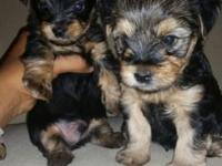 My female morkie had two adorable little male pups who